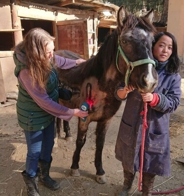 Treating Tingkham the horse with super pulsed laser therapy
