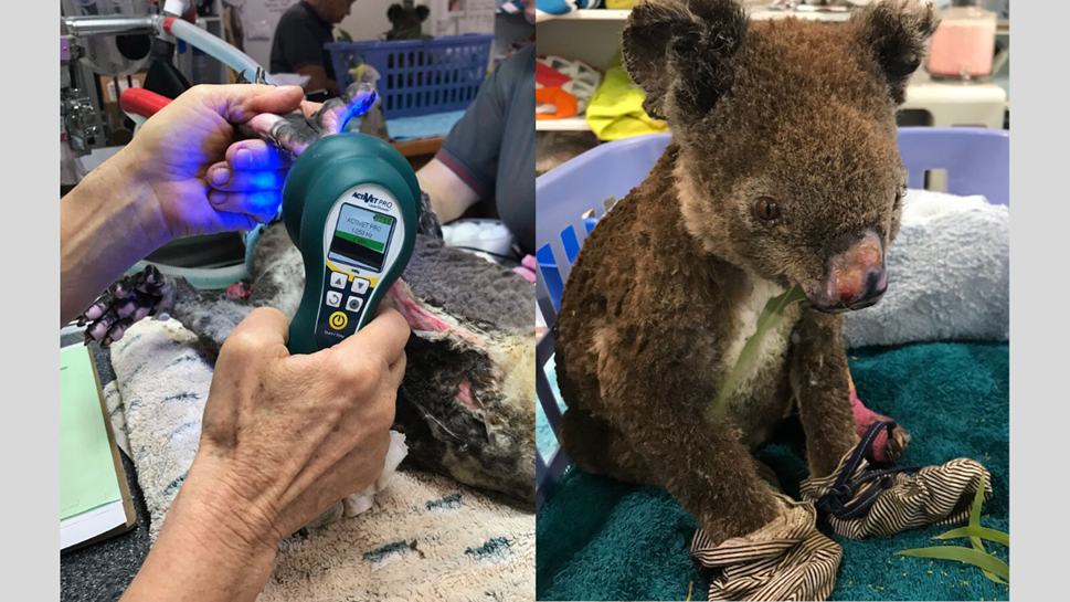 Koalas injured in Australian bushfires are treated with Multi Radiance Super Pulsed Laser Therapy to relieve pain and accelerate wound healing from severe burns.
